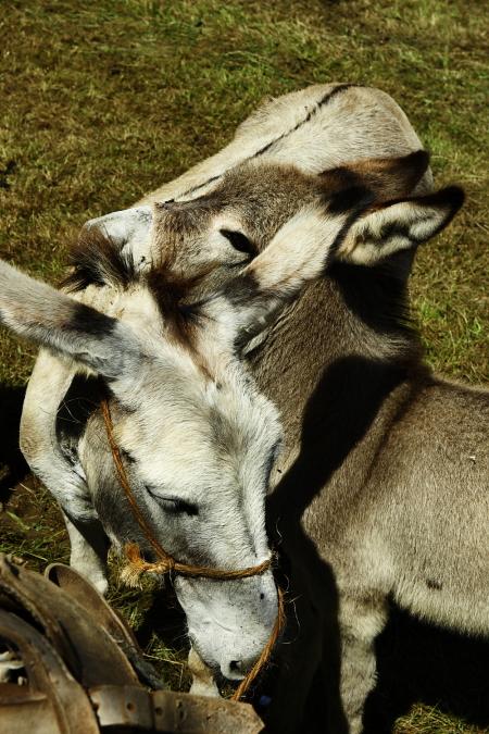 Donkey race at Cobreces, Spain