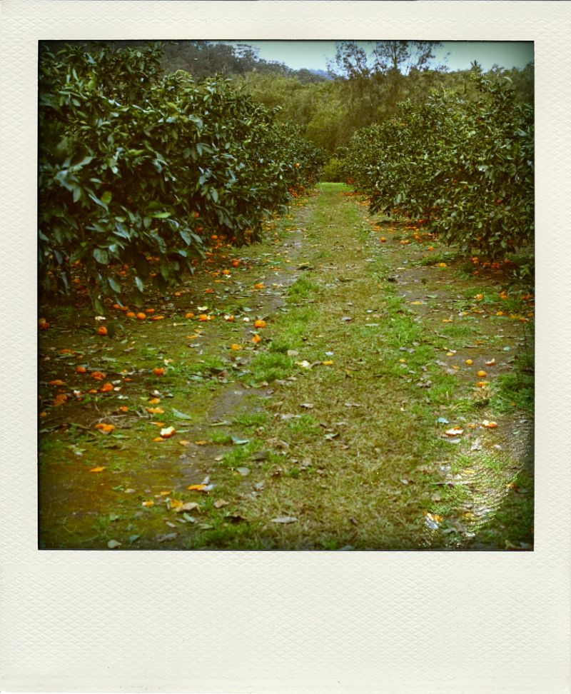 Pick your own madarins at Wisemans Ferry, or, Mandarins on Poladroids
