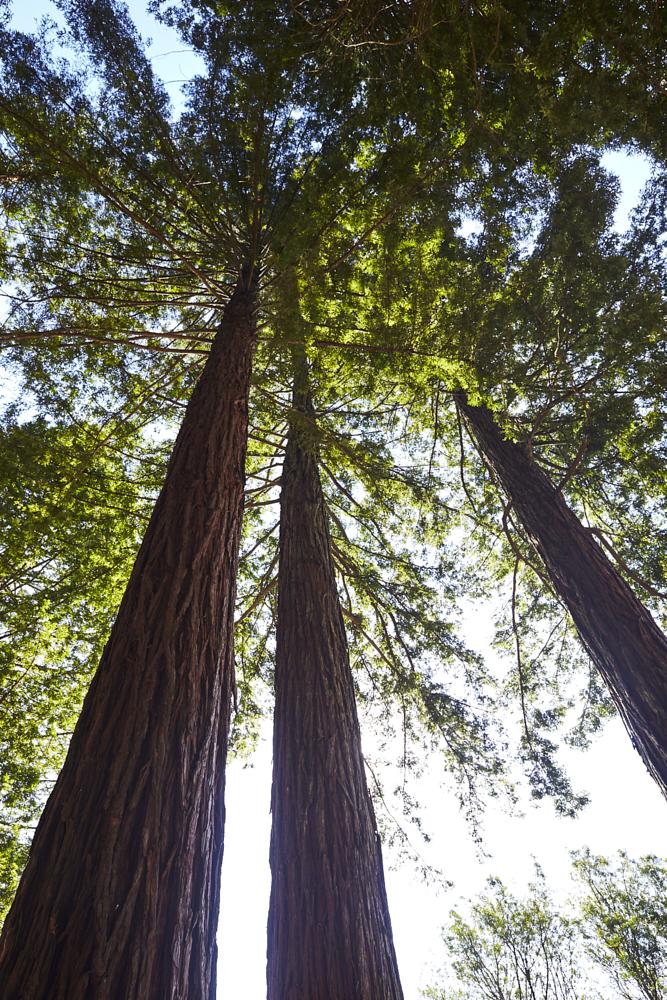 Redwoods Cedars Whakarewarewa Forest Rotorua New Zealand
